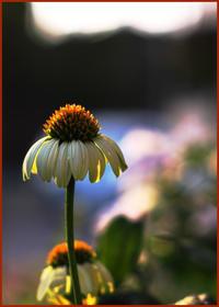 オールドレンズで撮った『花・二題』 - ☆彡 四季写遊 ☆彡