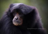 フクロテナガザル:Siamang - 動物園の住人たち写真展(はなけもの写眞館)