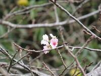 季節外れの桜の開花 - 商家の風ブログ
