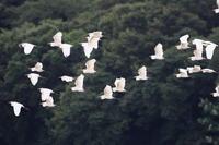 チュウサギの群れ - fumufumu日記