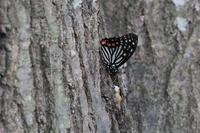 ■アカボシゴマダラ20.9.24 - 舞岡公園の自然2