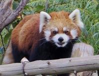 9月24日の円山動物園のココとタロウとジェイ - 黄金絹毛鼠(コガネキヌゲネズミ)