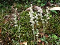 ミヤマウズラとユリカモメ - 清治の花便り