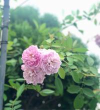 黒星病蔓延ガーデン(/ _ ; )と食欲の秋と、フランネルフラワー&ミラージェルネイル ♡ - 薪割りマコのバラの庭