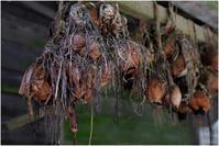 干からびた玉ねぎ - HIGEMASA's Moody Photo