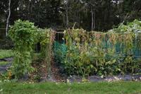 自然栽培肌寒くなった豆の収穫黒千石 - 自然栽培 釧路日記