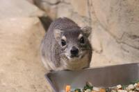 キボシイワハイラックスの親子と鳴くツキノワテリムク(埼玉県こども動物自然公園) - 続々・動物園ありマス。