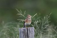 ヒバリさんこっちに向かって! - 鳥と共に日々是好日②