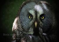 カラフトフクロウ:Great Grey Owl - 動物園の住人たち写真展(はなけもの写眞館)