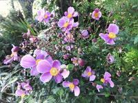 秋牡丹 - だんご虫の花