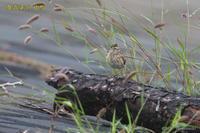 ヒバリの幼鳥 - 奥武蔵の自然