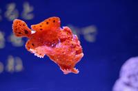 ROLAND魚録展①~イロカエルアンコウとイヌザメ(アクアパーク品川) - 続々・動物園ありマス。