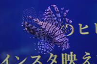 ROLAND魚録展②~ハナミノカサゴとユメウメイロ(アクアパーク品川) - 続々・動物園ありマス。