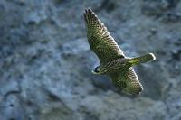 ハヤブサ飛翔 - 新  鳥さんと遊ぼうⅡ