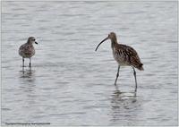 ダイシャクシギ干潟に1羽-2 - 野鳥の素顔 <野鳥と日々の出来事>