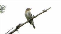 ご近所散歩 コサメビタキ - 山と鳥を愛するアナパパ