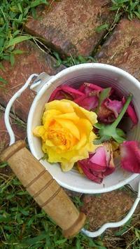 バラにミドリヒメヨコバイ - ウィズコロナのうちの庭の備忘録~Green's Garden~