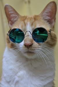 ダイソーのペット用ファッションメガネ - ぎんネコ☆はうす