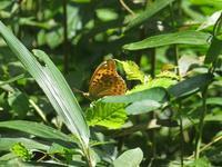 クモガタヒョウモン覚醒 - 秩父の蝶