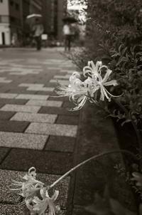 Tokyo Snap 72八重洲仲通り - 花は桜木、