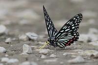 吸水するアカボシゴマダラ - 上州自然散策3