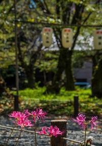 平野神社の彼岸花 - 鏡花水月