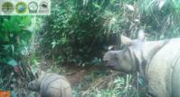 ジャワサイが2頭誕生、生息数が74頭に! - 親愛なる犀たちへ