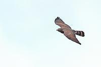タカの渡り  - 野鳥の視線