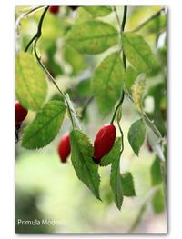 秋・鮟鱇の季節 - 雪割草 - Primula modesta -