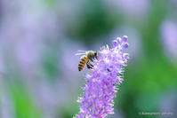 蔓穂【ツルボとセイヨウミツバチ】 - kawanori-photo