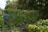 自然栽培風で花豆棚が収穫トマトの種採り - 自然栽培 釧路日記