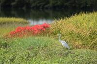 鷺と彼岸花 - 風のささやき