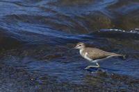イソシギ先日より少し近くに - 気まぐれ野鳥写真