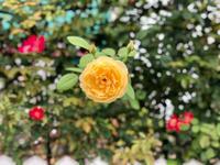 筋肉痛でも頑張りました♫と薬剤散布 - 薪割りマコのバラの庭