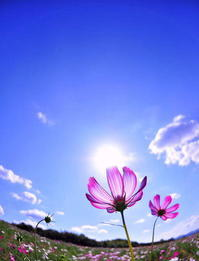 秋桜 - さぬき風花