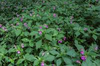 キバナアキギリとゲンノショウコ - あだっちゃんの花鳥風月