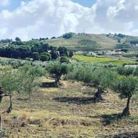 収穫前のパトロール〜オリーブ農園日記 vol.32 - 幸せなシチリアの食卓、時々にゃんこ