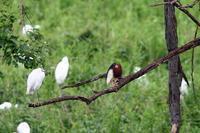 アカガシラサギ - 武蔵野の野鳥