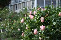 再訪・とちぎ花センターの薔薇園 - 季節の風を追いかけて