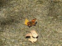 テングチョウ 秋の覚醒 - 秩父の蝶