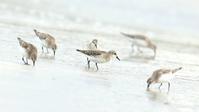 トウネン - 北の野鳥たち