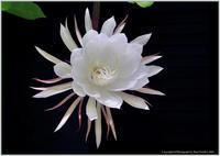 庭の花-38月下美人がまたまた咲いた - 野鳥の素顔 <野鳥と日々の出来事>