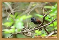 秋の渡り、いつもの公園でサンコウチョウとエゾビタキ、ムシクイを鳥×撮り2020.09 - 鳥×撮り+あるふぁ~