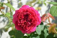秋バラ開花 - バラとハーブのある暮らし Salon de Roses