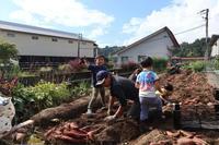 10月1日サツマイモ掘り - ユリ 百合 ゆり 魚沼農場の日々