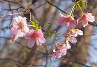 十月桜と藤沢周平10月1日(木) - しんちゃんの七輪陶芸、12年の日常
