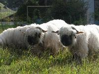 黒鼻のヒツジたちに遭遇 - ヘルヴェティア備忘録―Suisse遊牧記