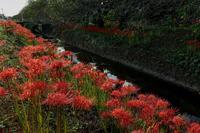 高草川に咲く彼岸花 - やきつべふぉと