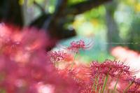 中野市ヒガンバナ谷厳寺にて - 野沢温泉とその周辺いろいろ2