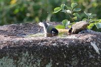 ■習作水浴びするシジュウカラ20.10.1 - 舞岡公園の自然2